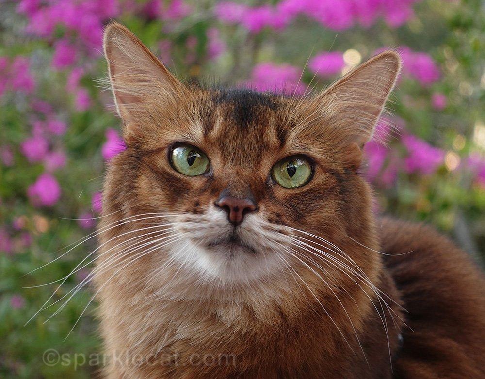 somali cat portrait in front of bougainvilleas.