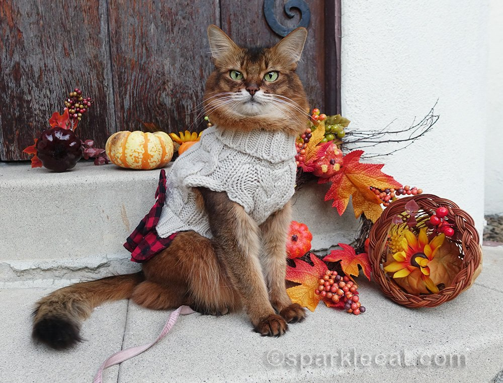 somali cat in sweater dress in fall setting