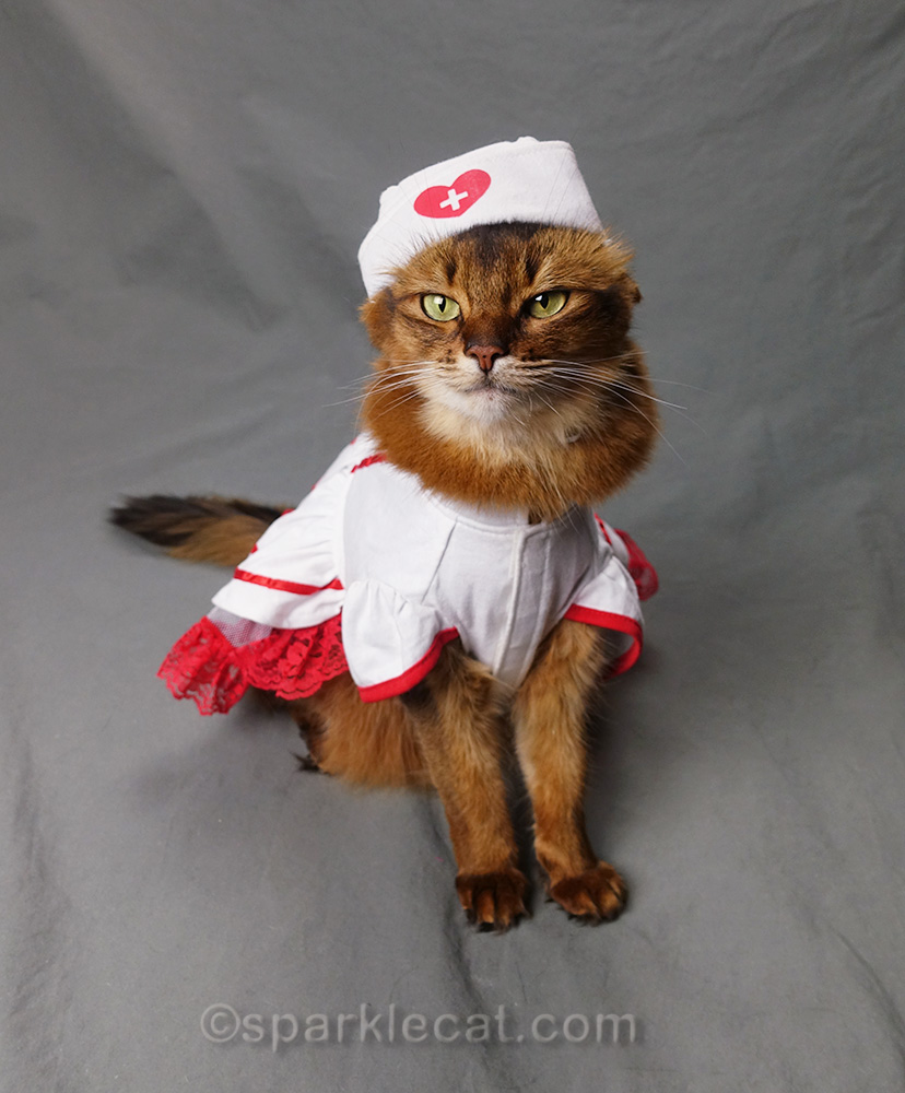 somali cat in nurse's outfit