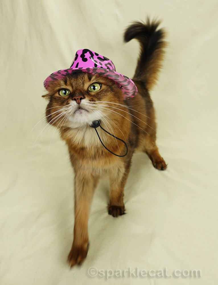 somali cat walking with ill fitting hat on