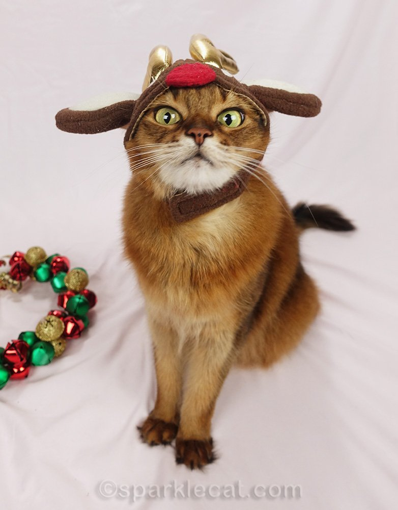 somali cat making face with reindeer hat on