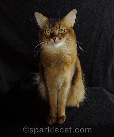 Somali cat, cat photography