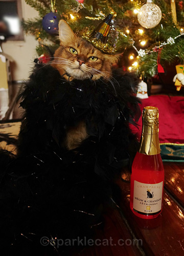 somali cat with Meow and Chandon pet champagne