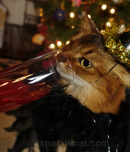 somali cat can't drink out of champagne flut
