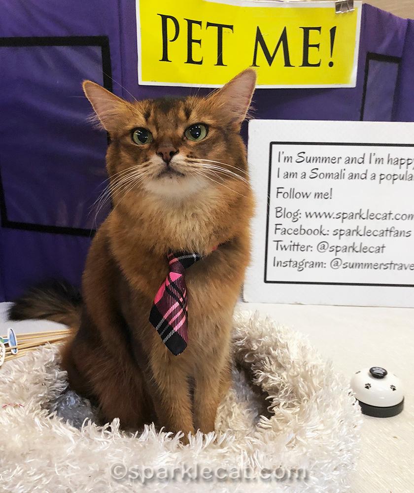 somali cat at cat show in Roseville