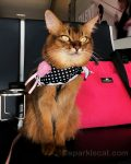 somali cat at Sacramento airport