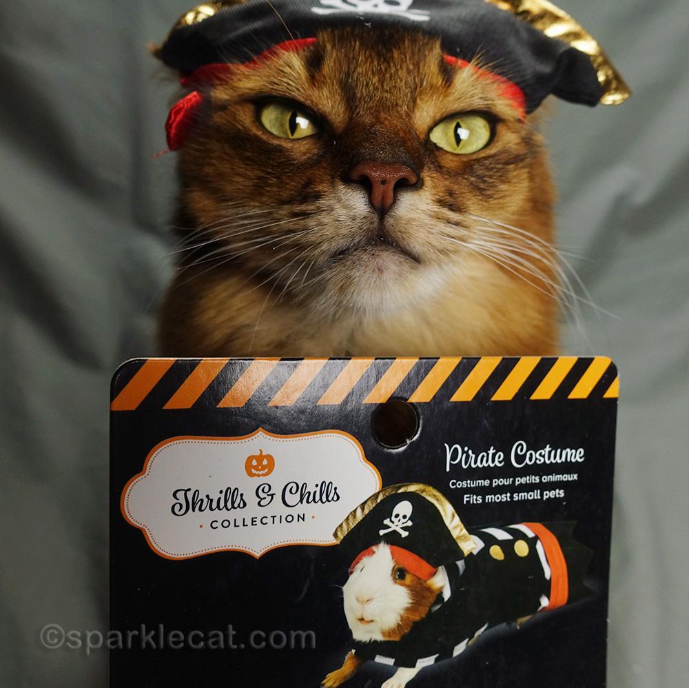 somali cat in Guinea pig pirate costume
