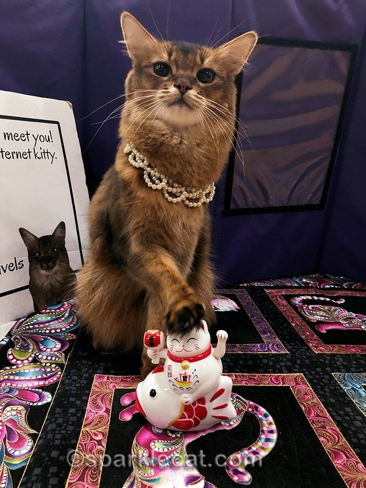 somali cat with paw on trinket from cat show