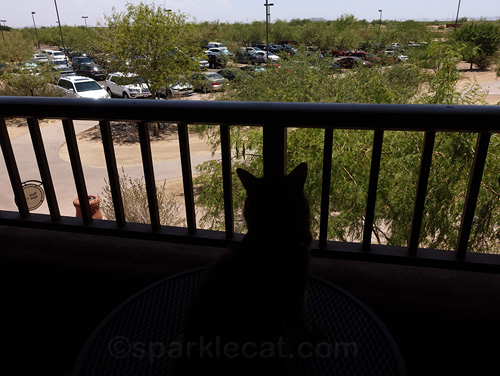 somali cat looks at hotel parking lot from her balcony