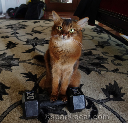somali cat with 20 pound weight