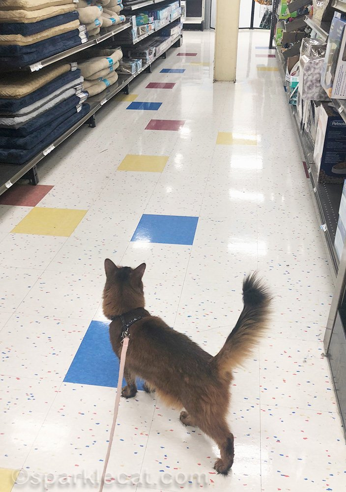 somali cat on leash in aisle of pet store