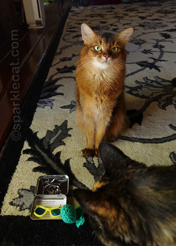 somali cat with toy and sunglasses being photo bombed by tortoiseshell cat