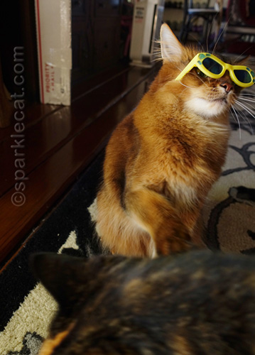 somali cat in sunglasses being disturbed by tortoiseshell cat