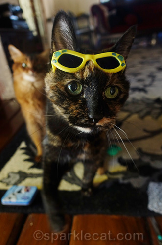 tortoiseshell cat with sunglasses on her head