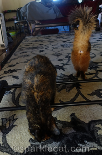 tortoiseshell cat and somali cat in one of the outtakes for the new year