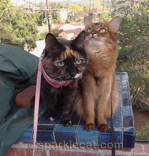 Somali cat, tortoiseshell cat, cats on leashes