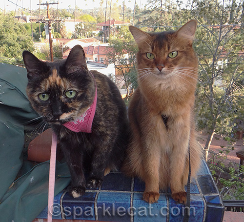 Somali cat, tortoiseshell cat, cats outdoors