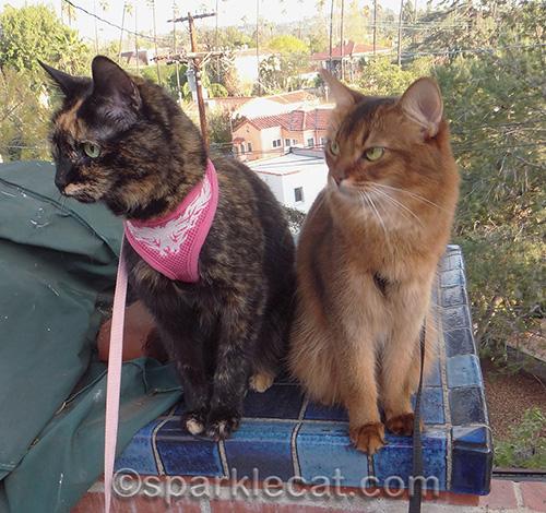 Somali cat, tortoiseshell cat, cats bird watching