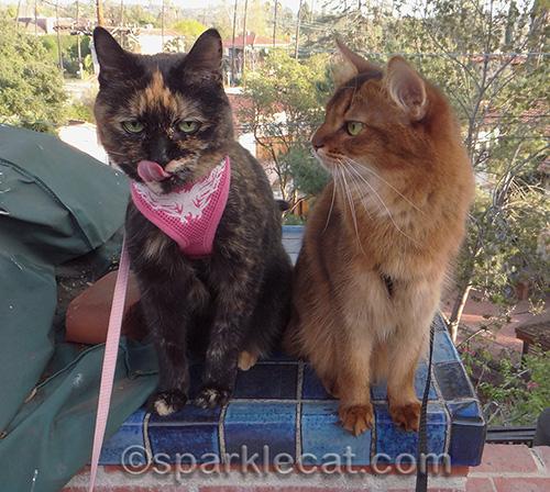 Somali cat, tortoiseshell cat, cat tongue