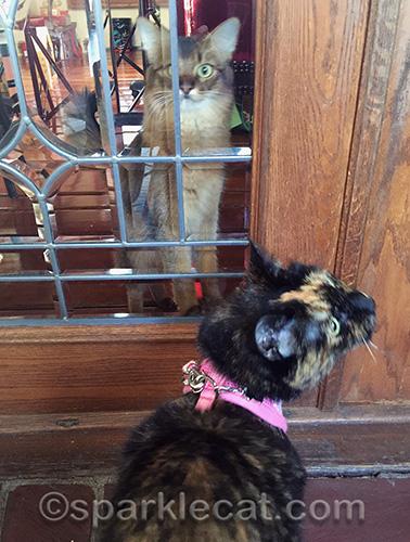 Somali cat, tortoiseshell cat, cat on leash