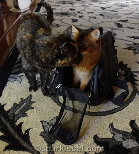 Binga cat tries to get in cat carrier