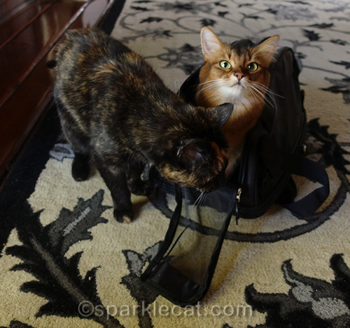 tortoiseshell cat examining carrier, with somali cat already in it