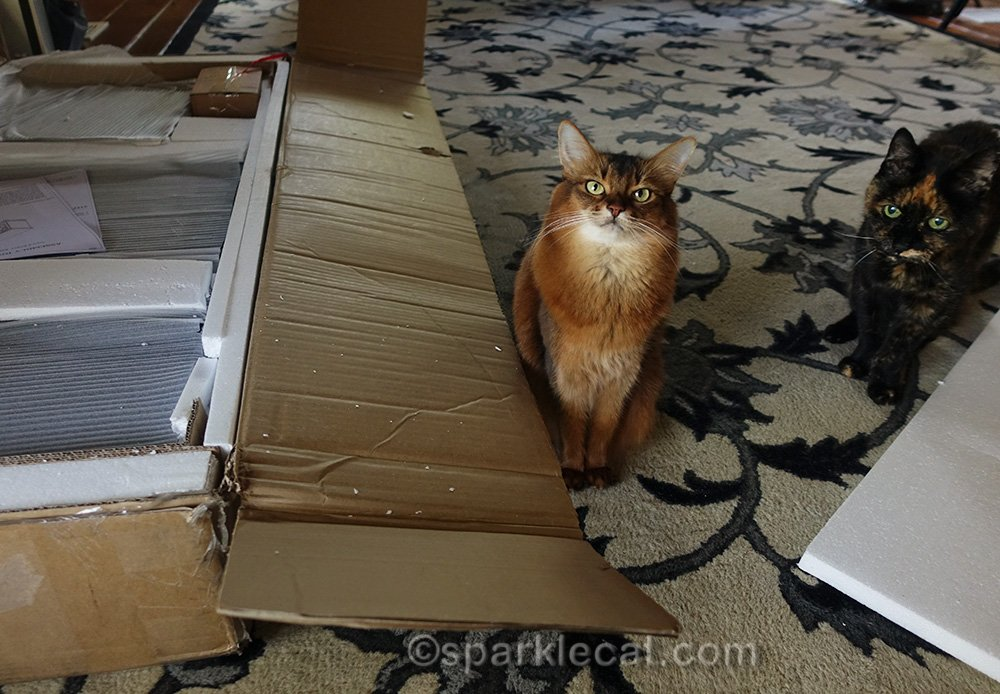 somali cat and tortoiseshell cat with unassembled media cabinet - their human is not going to be able to do it herself