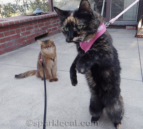 Tortoiseshell cat on a leash with somali cat on leash in background