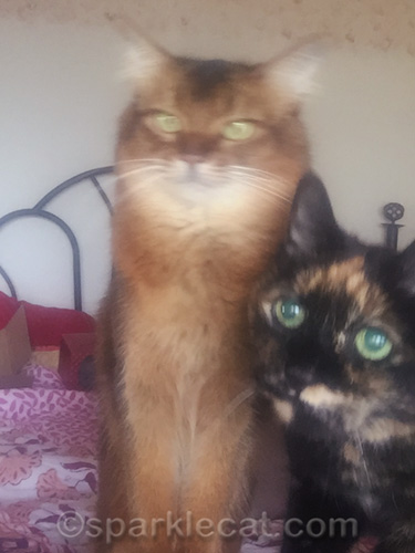 blurry double selfie with somali cat and tortoiseshell cat
