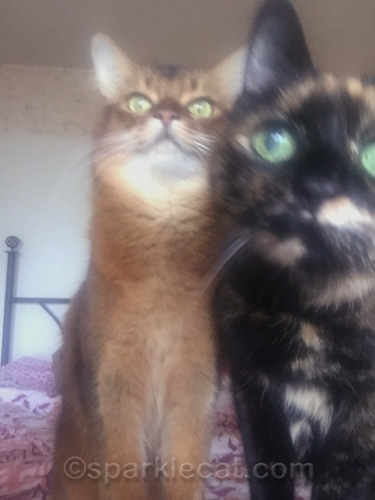 somali cat being upstaged by tortoiseshell cat