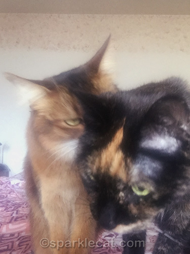 somali cat sternly talking to tortoiseshell cat