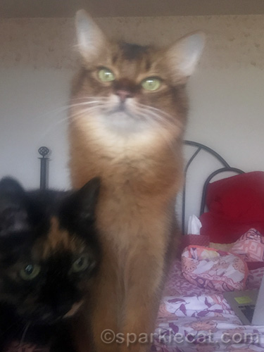 somali cat taking a selfie with tortoiseshell cat in lower part of photo