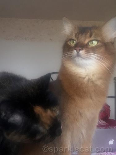 tortoiseshell cat thinking of biting somali cat