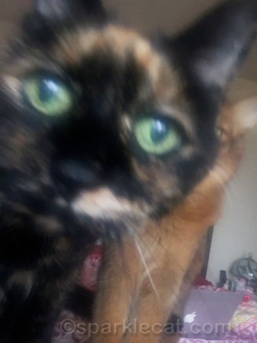 tortoiseshell cat totally taking over sickbed selfie from somali cat