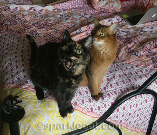 tortoiseshell cat meowing at camera next to somali cat
