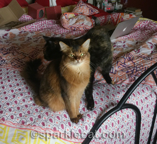 tortoiseshell cat photo bombing somali cat on bed