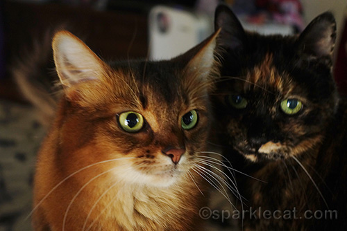 somali cat being invaded by tortie cat