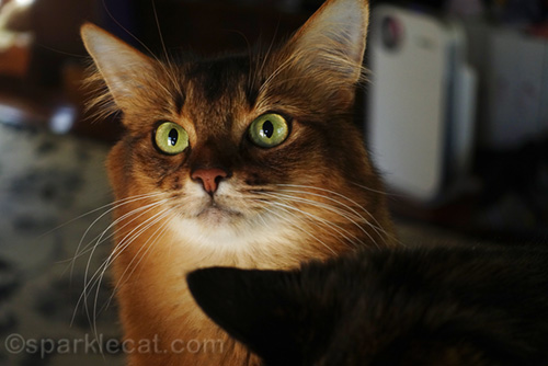 somali cat being photobombed by tortoiseshell cat