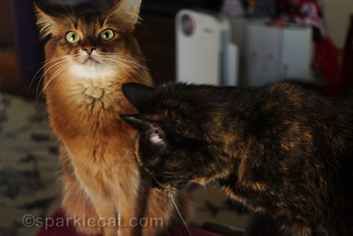 tortoiseshell cat bothering Somali cat during photo shoot