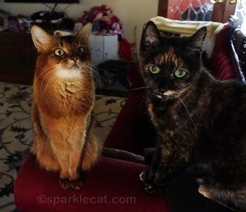 tortoiseshell cat looking bummed and somali cat looking righteous