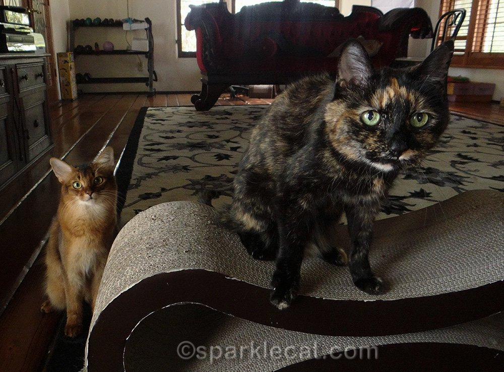 Somali kitten and tortoiseshell cat