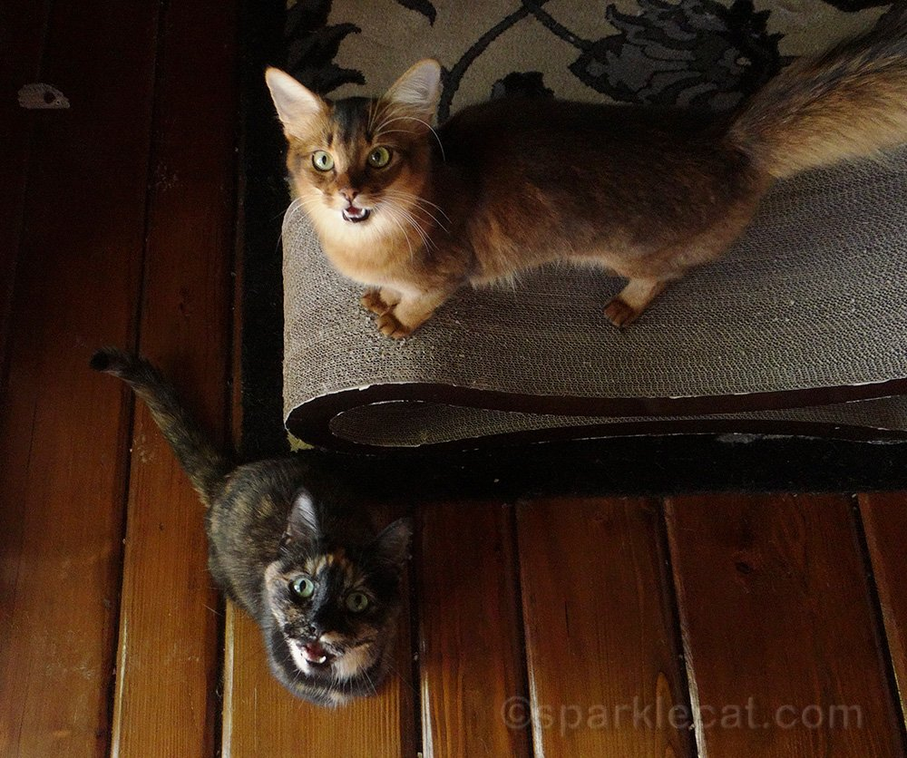 somali cat and tortoiseshell cat meowing