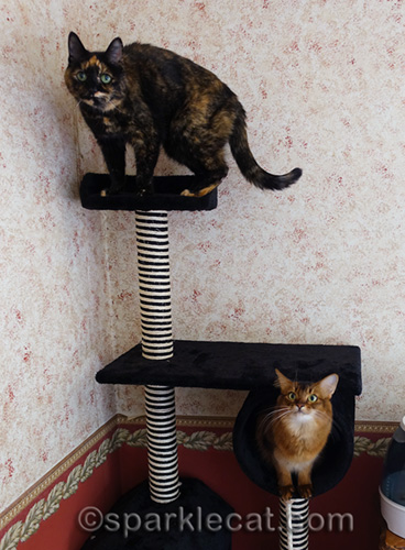 tortoiseshell cat on top of new cat tree, with somali cat below