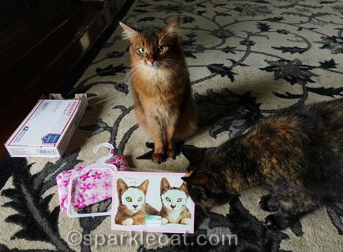 somali cat bummed that tortoiseshell cat just photobombed her