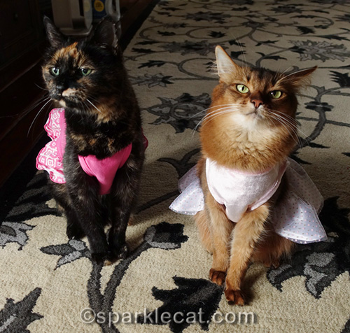 somali cat in dress, annoyed at tortoiseshell cat in dress