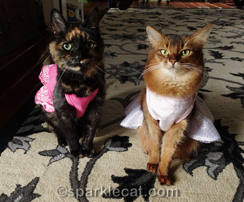 tortoiseshell cat and somali cat in pink dresses