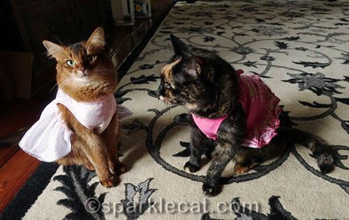 somali cat and tortoiseshell cat in dresses