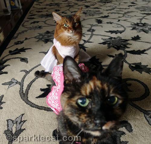tortoiseshell cat photobomber in front of somali cat in dress