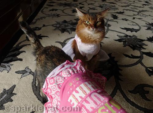 somali cat being photobombed by tortoiseshell cat in dress