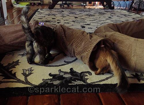 tortoiseshell cat and somali cat with Neko Pawdz tunnels
